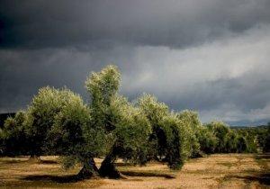 cultura-del-olivar
